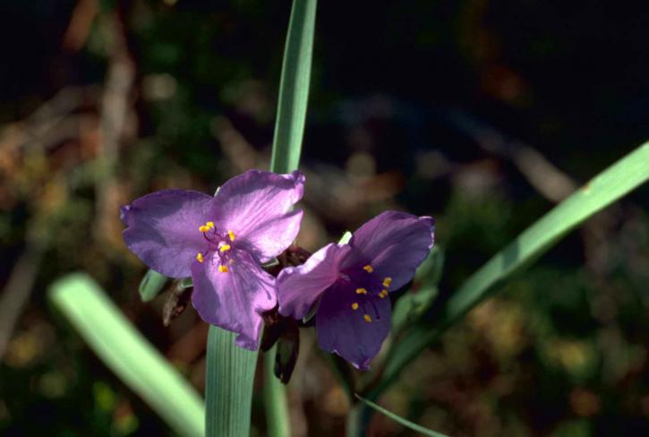 spiderwort, purple flowers, up-close, image, tradescantia, virginiana