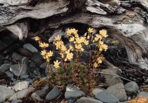 spotted, saxifrage, plant, saxifraga, bronchialis, wildflowers, mountas