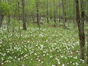 spring, wildflowers, atamasco, lilies, create, Easter, carpe