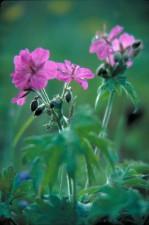 geranio, fiori, viscosissimum, bello, viola, petali, pianta