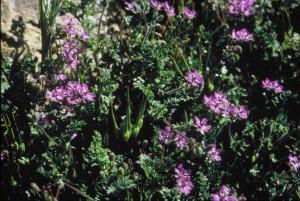 cigüeña, cuenta, plantas, flores de color rosa