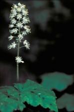 tiarella cordifolia, cvijet