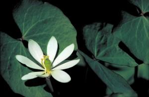 twinleaf, plante, fleur blanche, cassia, bauhinioides