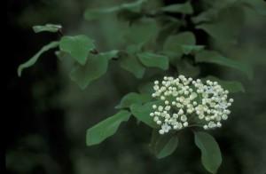 white flowers, green leaves, blackhaw, tree, viburnum, prunfolium