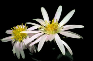 white, rockcastle, aster, flower, eurybia, saxicastellii, slight, purple, tint, yellow, center