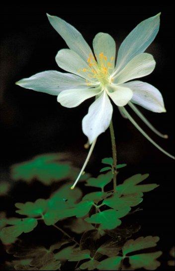 Kostenlose Bild: weiß, felsig, berg, Akelei, Blume, orange, grün, Mitte