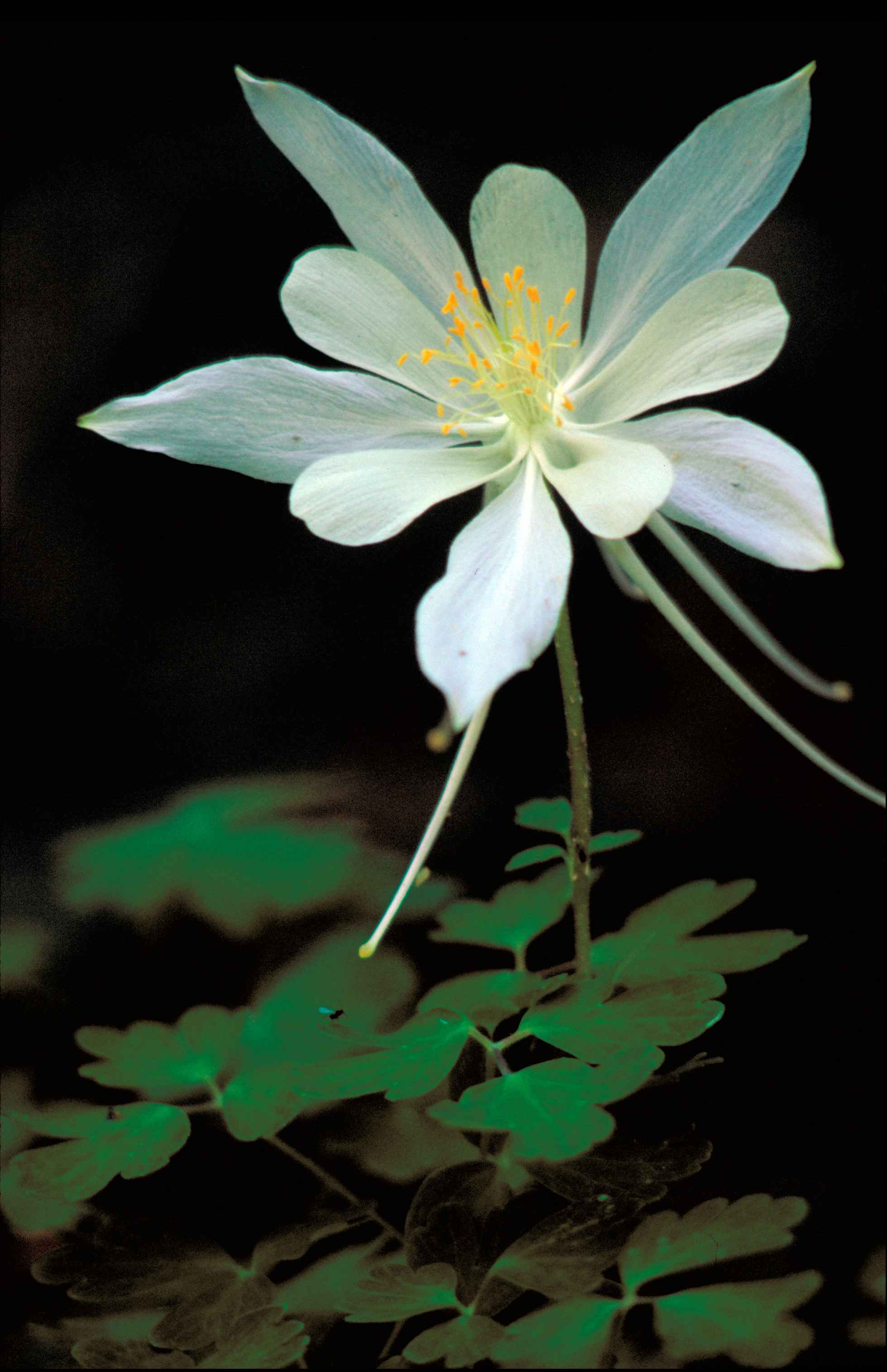 Free Picture White Rocky Mountain Columbine Flower Orange