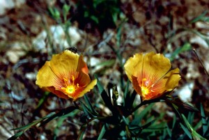 sauvage, le lin, les graines de lin, plante, Linum, usitatissimum, fleurs d'oranger
