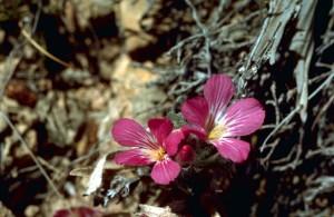 sauvage, lin, plante, purle, fleurs roses, Linum, usitatissimum