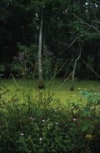 wildflowers, algae, vegetation, swamp