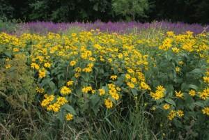 wildflowers, invasive, purple, loosestrife, growing, lythrum, salicaria