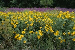 wildflowers, purple, loosestrife, invasive