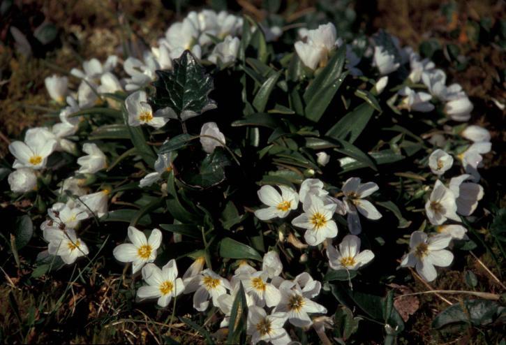 wildflowers, claytonia, claytonia, acutifolia