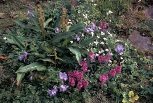 wildflowers, lousewort, pedicularis, jacobs, ladder, polemonium
