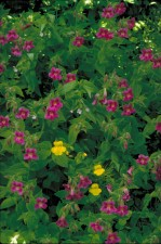 yellow, purple, monkey, flower, mimulus, rungens