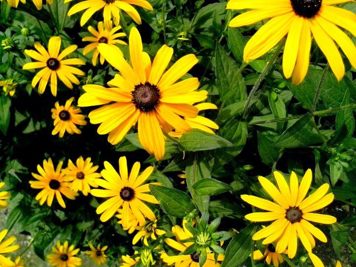 yellow, flowers, garden, detailed
