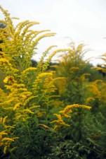 yellow, goldenrod, wildflower