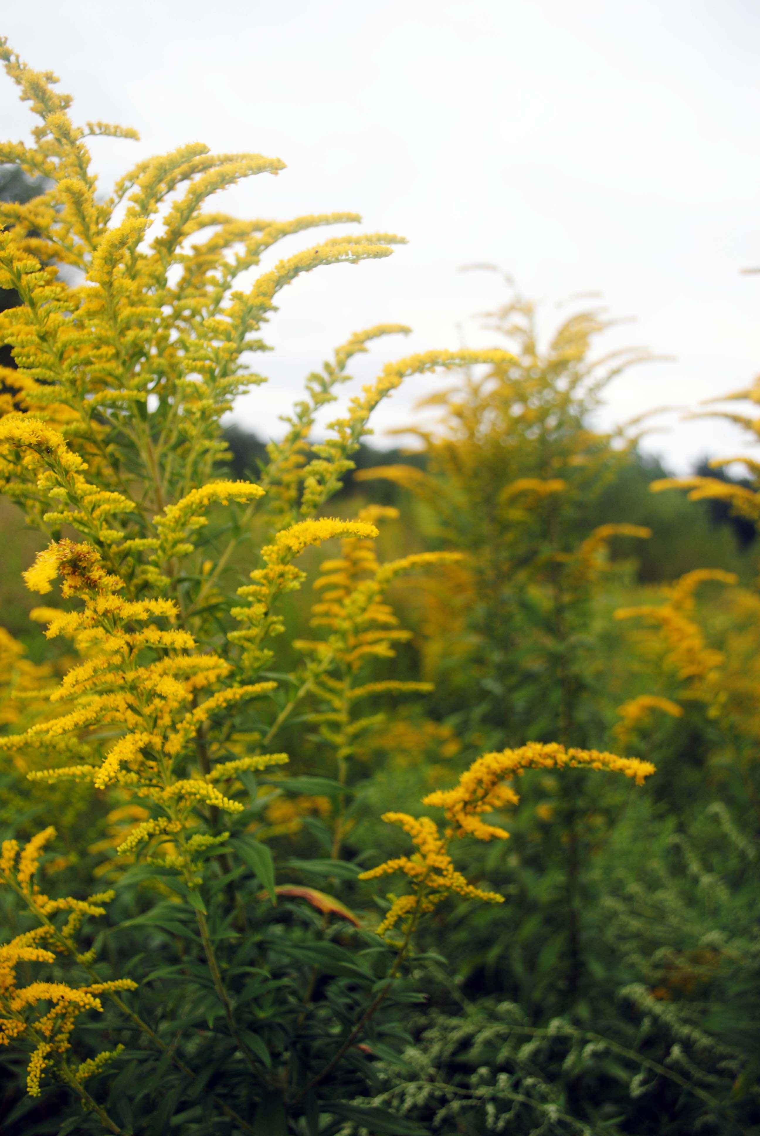 Fiori Di Campo Gialli.Foto Gratis Giallo Verga D Oro Fiore Di Campo