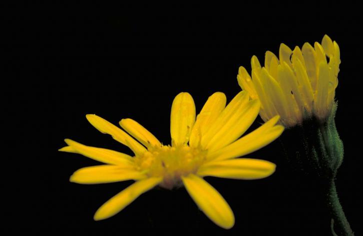 jaune, maryland, or, aster, fleur, Chrysopsis, mariana, asteraceae