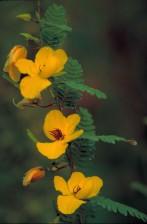 jaune, perdrix, fleur, rouge, centre, cassia, fasciculata