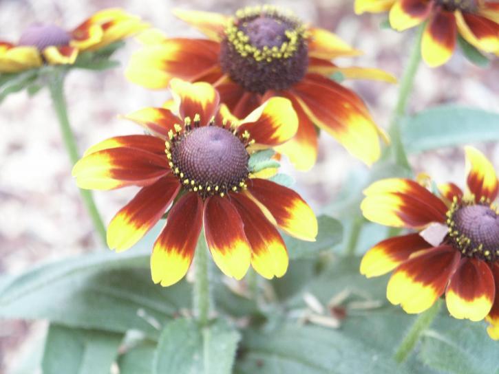 jaune, brun, fleurs