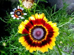 amarillo, flor roja, floración, hierba
