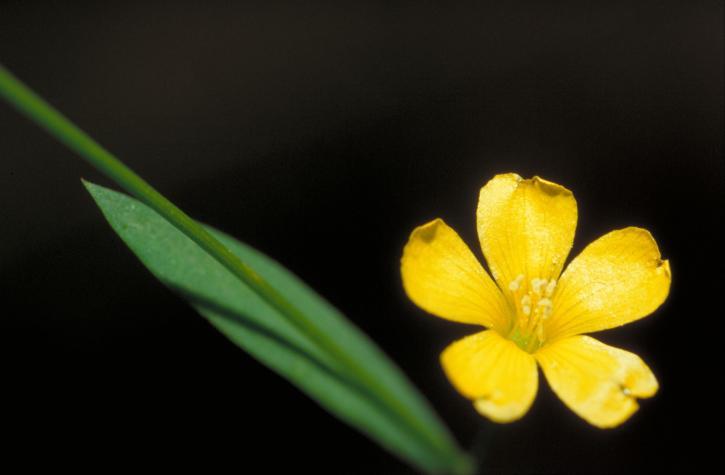 jaune, lin, fleur, Reinwardtia, indica