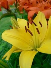 fleur jaune, la floraison