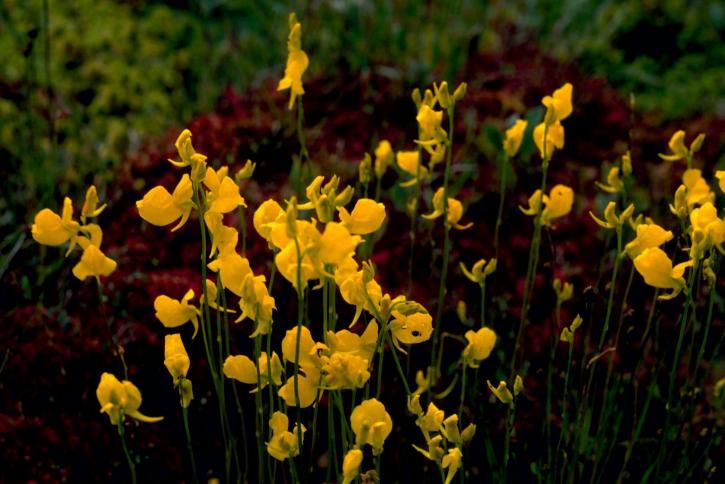 floraison jaune, plante