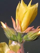 fleurs jaunes, bourgeons