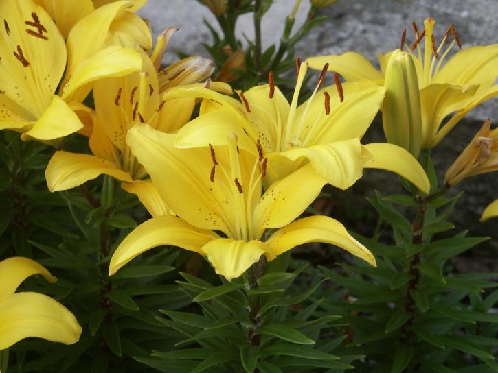 fleurs jaunes, vert, fond