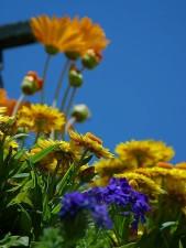 yellow, orange flowers