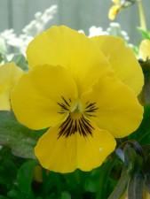 jaune, pensée, la floraison