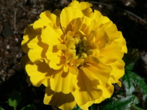 yellow, tagetes