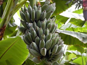 fruit, bananas leaves