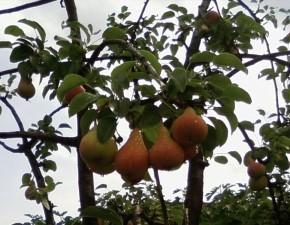 fruits, tree
