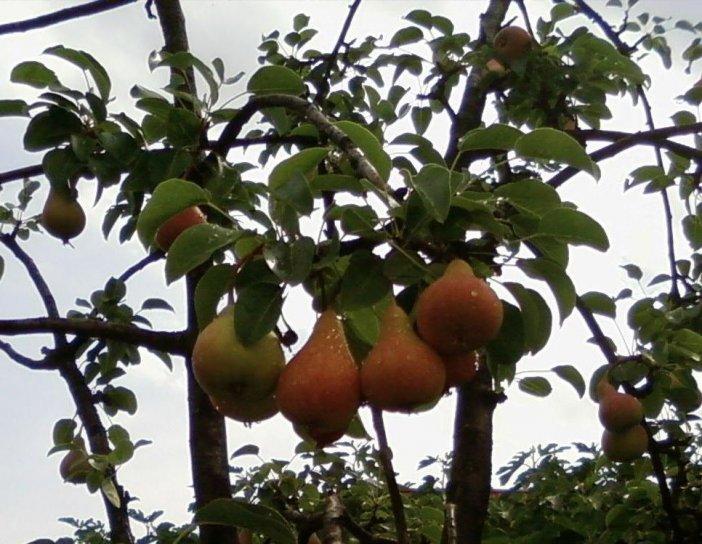 des fruits, des arbres