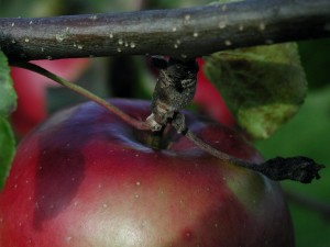 red apple, up-close, fruit, branch