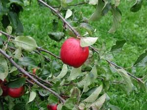 apple, branch
