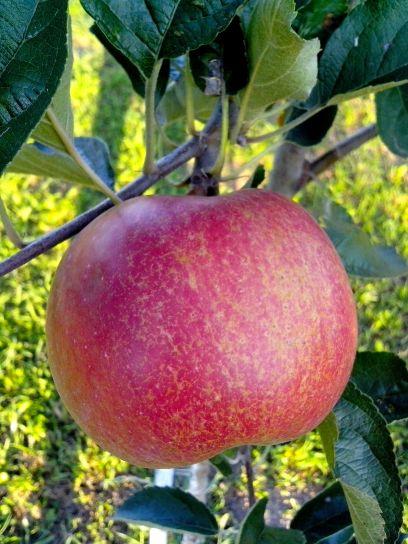 big, red, organic, fruit, apple