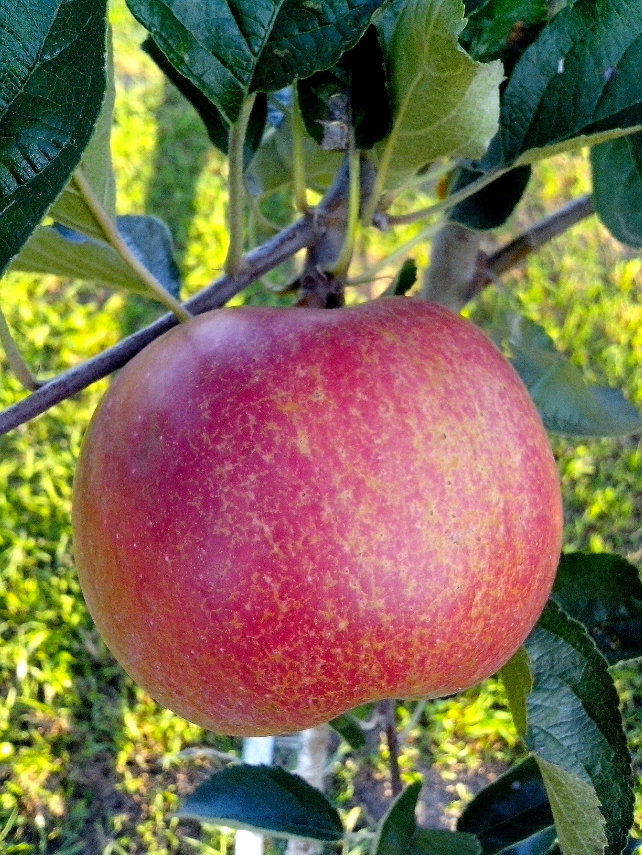 Free photograph; big, red, organic, fruit, apple