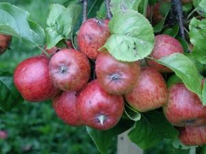 Branch, epler