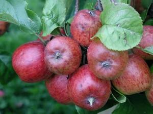 branche, beaucoup, pommes