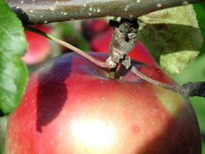detail, apple, branch
