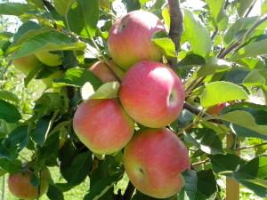 четири, червен, биологични ябълки, клон