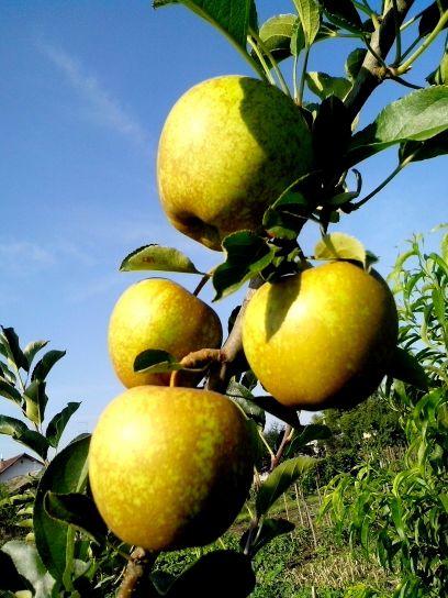 or, délicieux, pomme, branche