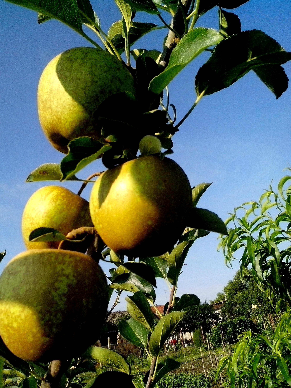 Free photograph; golden, delicious, apple, branch