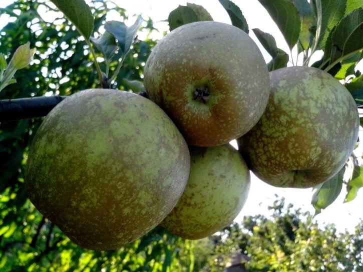 green, yellowish, apples, tree