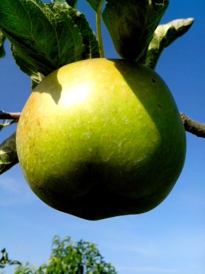green, apple, branch