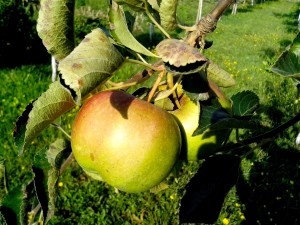 pomme verte, arbre